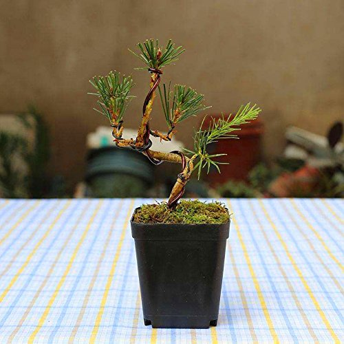 20 pcs/bag Black pine Seeds green bonsai tree seeds Pinus thunbergii Parl plant for home garden Straight perennial woody plants 1 SVI