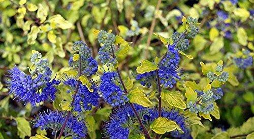Lil Miss Sunshine Bluebeard Caryopteris
