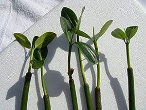 Mangrove saltwater plants