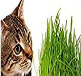 Catgrass Seeds - Agropyron cristatum - Excellent thin grass for Flower Planter Box - Your Cats & Kittens will love it - By MySeeds.Co (1000 Seeds x 5 Packs)