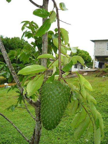 25 Giant Soursop Seedsrareexotic Annona Muricata Graviola