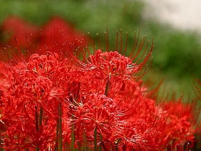 Bulk package of 100 bulbs Lycoris radiata red spider lily