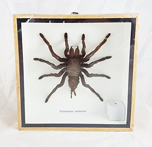Tarantula Real Spider Taxidermy Wood Framed Mounted Unique Boxed Frame Insect Eurypeima Entomology Display Spincrus (Pheasant Knob compare prices)