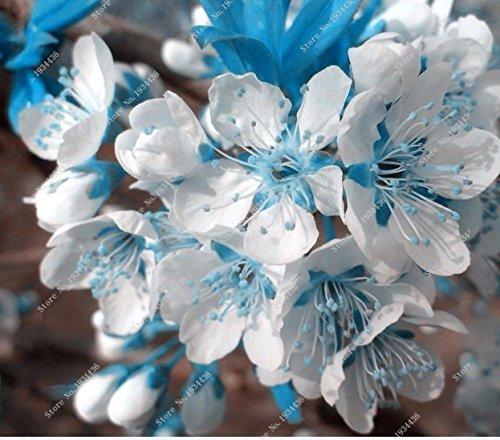 0077b4d0b 10 PCS rare sky blue sakura seeds bonsai flower seeds Bonsai plants Cherry  Blossoms seeds cherry blossom tree for home & garden: Amazon.ca: Patio, ...