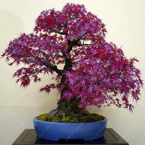 (Japanese Maple Bonsai | Toronto Maple Leafs Bonsai | Perennial Plant for Home Garden (40 Pcs|Bag))
