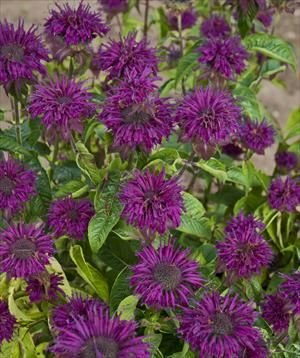 Amazon.com: romence Jardines, Monarda didyma Purple Gallo ...
