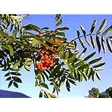 20 ASH TREE Mountain / Amur / Rowan - Sorbus Aucuparia Seeds
