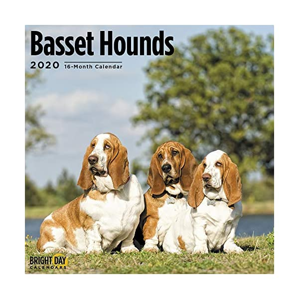 2020 Basset Hounds Wall Calendar by Bright Day, 16 Month 12 x 12 Inch, Cute Dogs Puppy Animals Hunting Canine 1