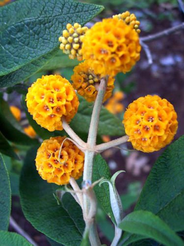 10 ORANGE BALL TREE/GOLDEN BUTTERFLY BUSH Buddleja Globosa Shrub Flower Seeds