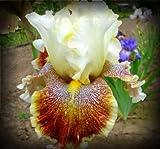 Wonders Never Cease Tall Bearded Iris Rhizome 'Iridaceae' 1 Bulb Rhizome
