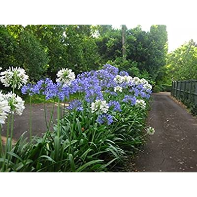NEW! 25+ AGAPANTHUS WHITE & PURPLE MIX LILY OF THE NILE FLOWER SEEDS / PERENNIAL : Garden & Outdoor