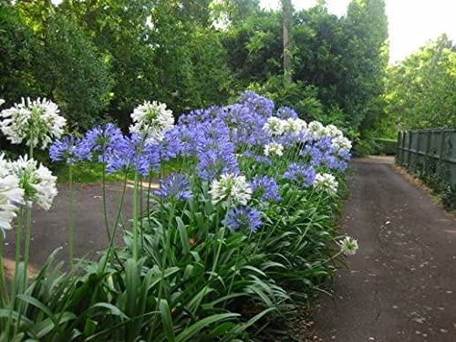 Amazon Com New 25 Agapanthus White Purple Mix Lily Of The