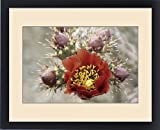 Framed Print of Flowering staghorn cholla cactus with buds in the Sonoran Desert. Cylindropuntia
