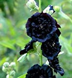 Double Black Hollyhock Seeds (Alcea Rosea) 30 Seeds UPC 646263362037