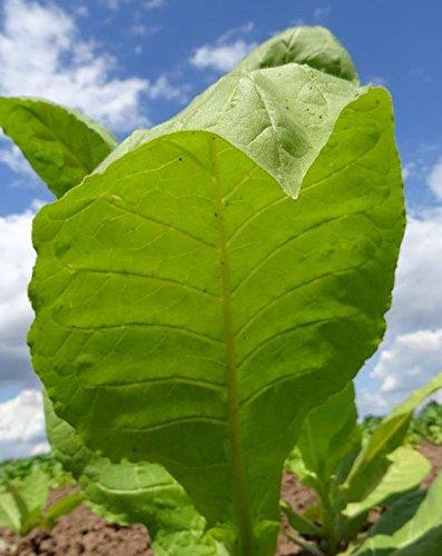Rare Organic seeds Smoking Tobacco