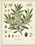 Olive Branch Botanical Artwork - 11x14 Unframed Art Print - Great Home Decor