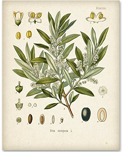Olive Branch Botanical Artwork - 11x14 Unframed Art Print - Great Home Decor by Personalized Signs by Lone Star Art