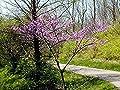 15 Seeds Eastern Redbud, Southern Eastern Redbud Tree (Cercis canadensis)