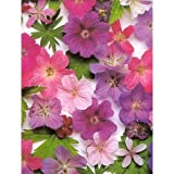 Hardy Geranium 15 Seeds - Perennial