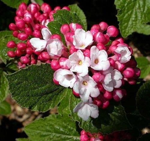 Korean Spice Viburnum Shrub -Most Beautiful/Fragrant Shrub in the World- 4