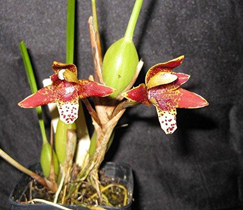 Maxillaria tenuifolia- Super Fragrant! COCONUT Orchid!