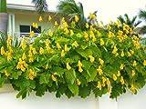 Senna ALATA, Cassia Candlestick Candelabra Bush Tree-Butterfly Flower - 50 Seeds