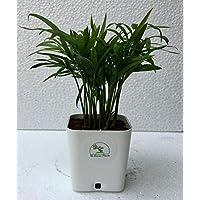 "The Bonsai Plants Chamaedorea Mini Palm For Tabletop Indoor Live Plant In White Plastic Pot"""