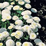 VISTARIC 2: Bright Colors Vigorous Garden New Beautiful Daisy English - 500 Seeds - POMPONETTE Mix - Bellis PERENNIS 2
