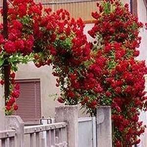 DIY Home Garden 100 pcs of Climbing red rose seeds , hot sale flower seeds ,
