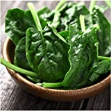 180 Seeds, Spinach Bloomsdale Long Standing (Spinacia oleracea) Seeds By Seed Needs