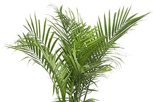 Buy live indoor plants tall