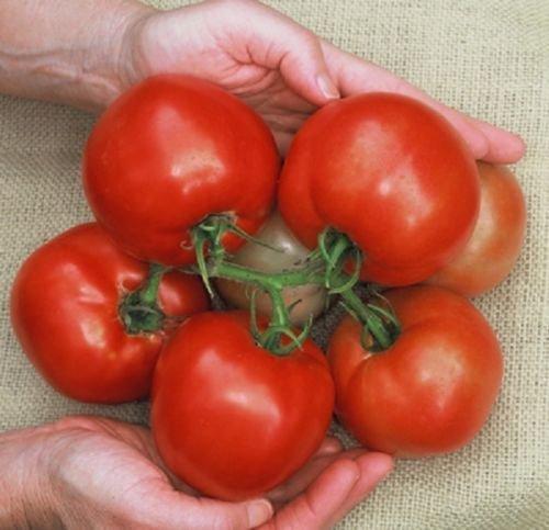 10 Cobra Tomato Seeds, A premier greenhouse tomato.Very (Greenhouse Tomato Seeds)