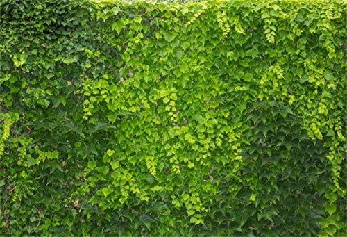 Laeacco 10x8ft Spring Vibrant Boston Ivy Wall Vinyl Photography Background Hedge Living Fence Topiary Foliage Backdrop Spring Scenic Landscape Wallpaper Theme Party Banner Studio