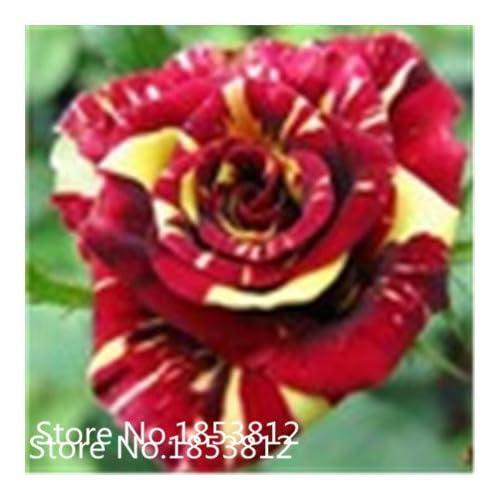 Sale!Free Shipping 100 Black Dragon Rose Seeds ,beautiful stripe rose bush plant ,DIY Home Garden Flower