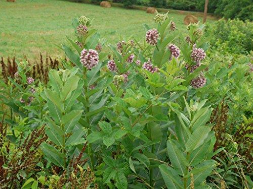 New COMMON MILKWEED SEEDS Monarch Butterflies American Native Wildflower US Seed 100+ Seeds
