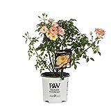 Oso Easy Italian Ice Landscape Rose (Rosa) Live Shrub, Orange, Pink, and Yellow Flowers, 1 Gallon