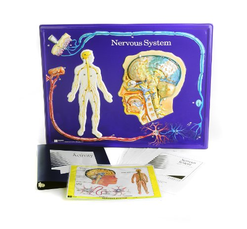 (American Educational Nervous System Model Activity Set)
