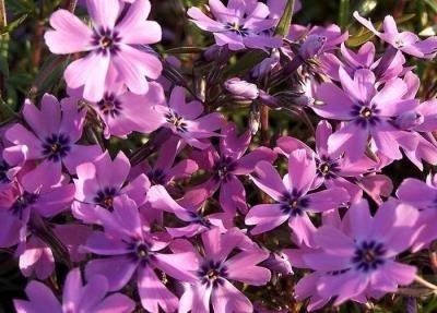 Classy Groundcovers - Phlox 'Purple Beauty' Creeping Phlox, Moss Phlox {25 Pots - 3 1/2 in.} by Classy Groundcovers (Image #4)