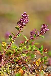 Asklepios-seeds® - 5000 seeds of Thymus pulegioides, broad-leaved thyme, lemon thyme