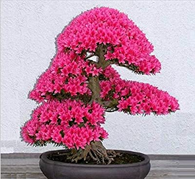 Bonsai Tree japanese sakura seeds 10pcs ,bonsai flower Cherry Blossoms