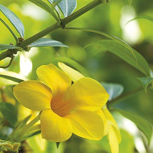 Vine Trumpet Plants - Van Zyverden Trumpet Vine -  Flava - Set of 1 Root Stock