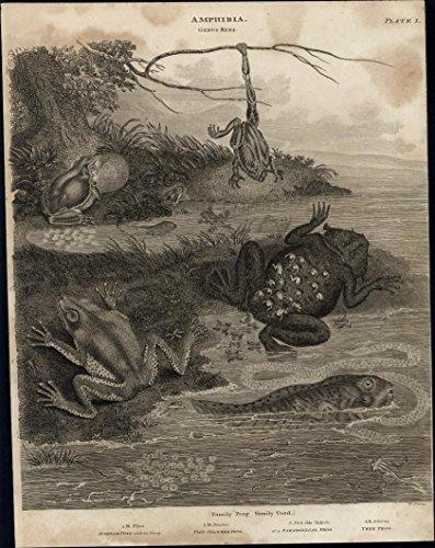 Amphibia Tree Frog Surinam Toad Rena image c 1812 fine antique engraved -