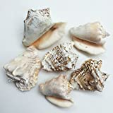 PEPPERLONELY 6 PC Hawk Wing Conch Sea Shells, 2 Inch ~ 3 Inch