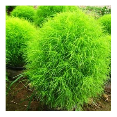 Obsidian 100 Kochia Scoparia Grass Plants Seeds : Garden & Outdoor