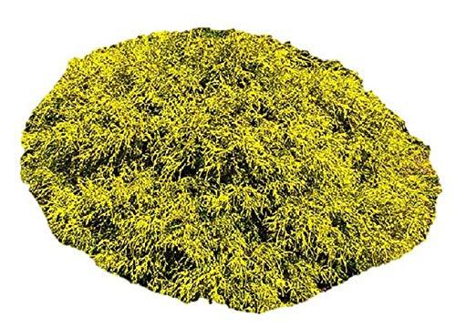 Gold Mop Weeping False Cypress Plant - Trade Gallon
