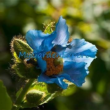 Seltene Blaue Himalaya-Mohn Hardy Blume 50pcs / lot Verzierung ...