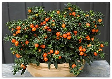 Amazon.com: Nightshade Pseudo semillas de flores: Jardín y ...