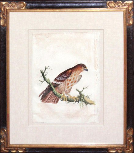 Spotted Buzzard (watercolor on vellum)