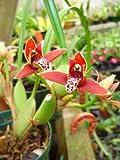 Near blooming size Maxillaria tenuifolia Coconut Orchid, fragrant flowers