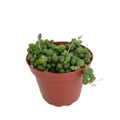 "Hirt's String of Pearls - Senecio rowleyanus - Easy to Grow - 4"" Pot : Garden & Outdoor"